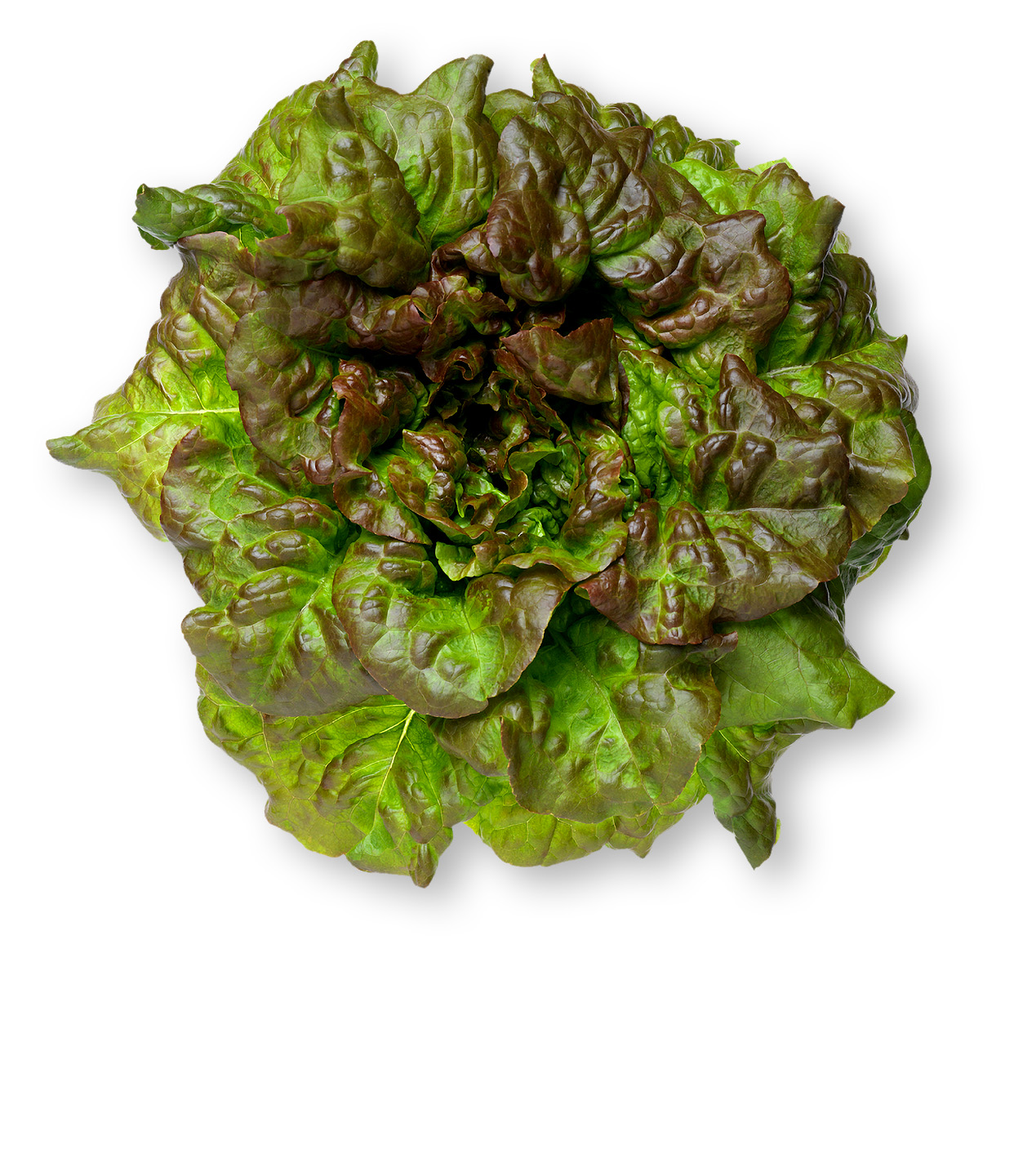 photo of a head of red leaf lettuce