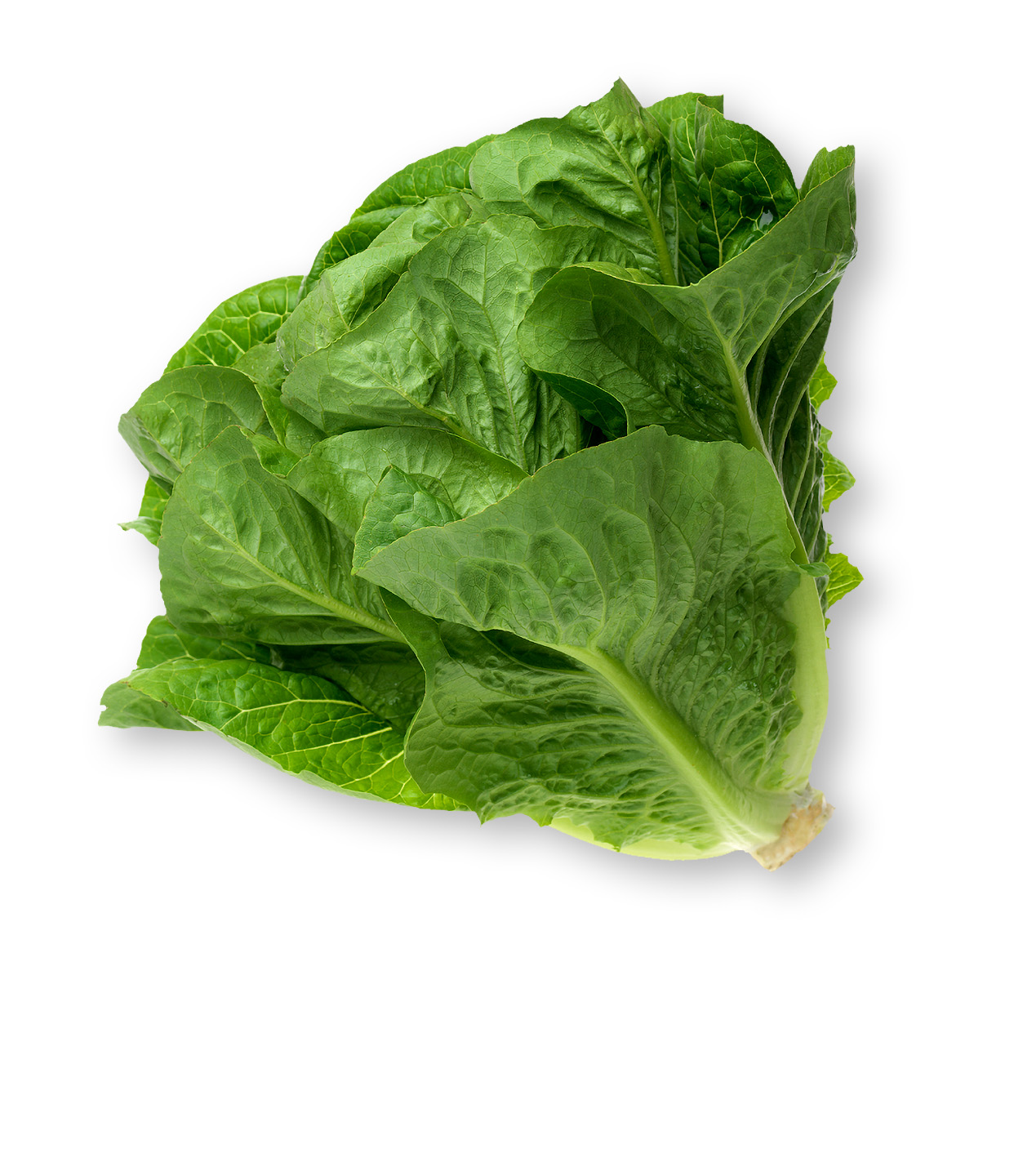 picture of a Romaine lettuce head