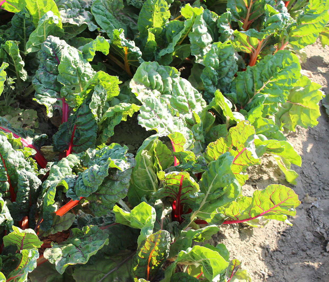organic red chard growing on a farm