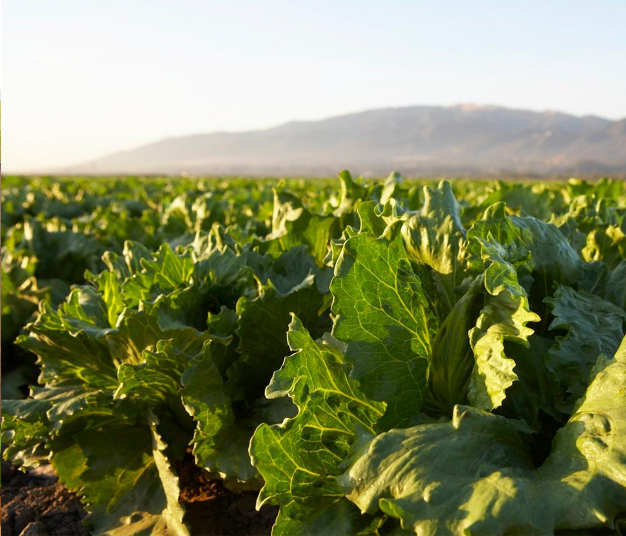 photo of an iceberg lettuce field