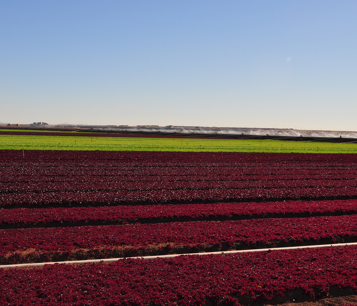 photo of red leaf lettuce in field